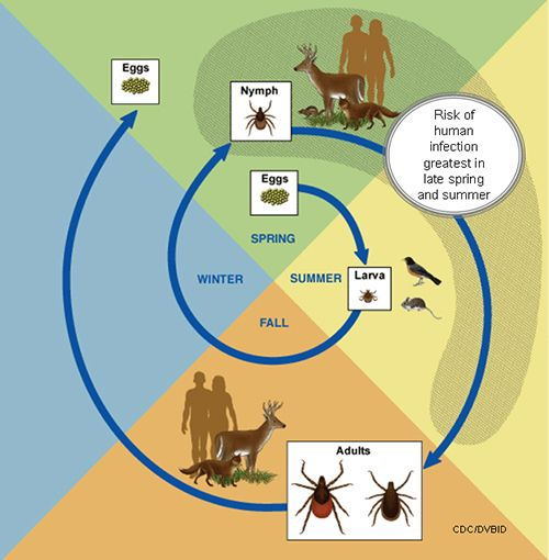 Tick Lifecycle-complications